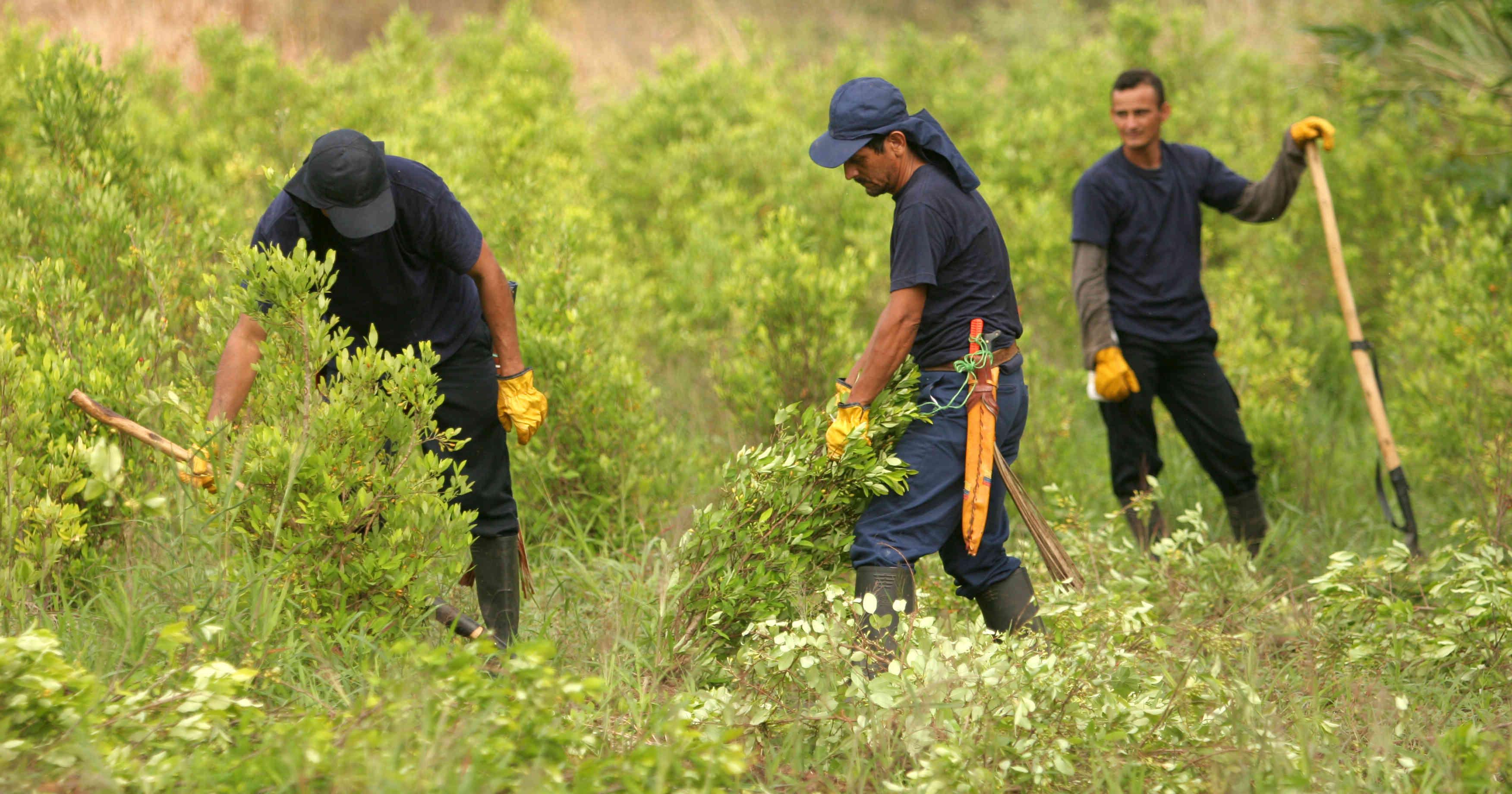 La falta de garantías para los campesinos eleva los cultivos ilícitos