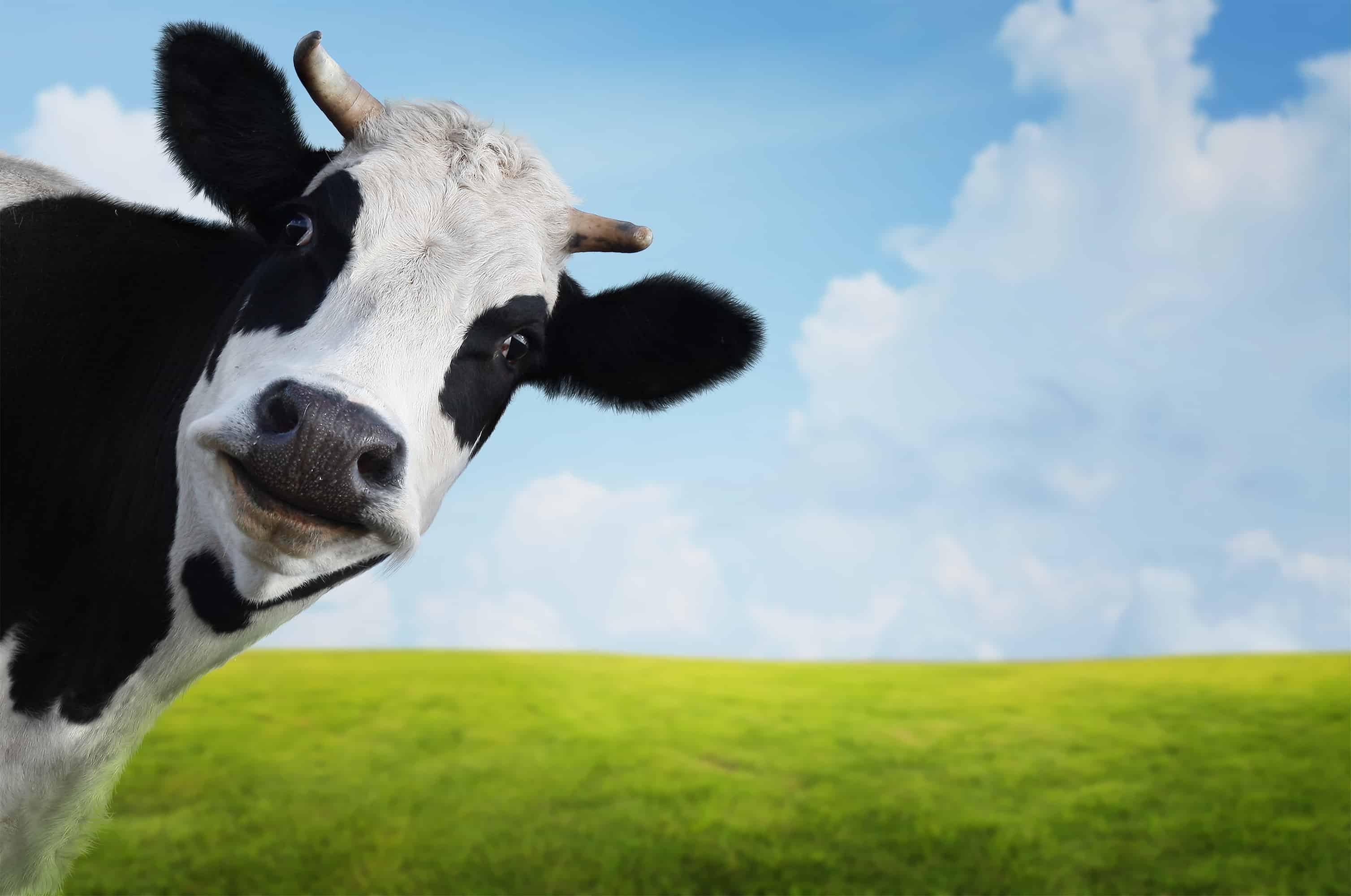 Vacas contra petróleo